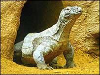 Komodo Dragon at London Zoo