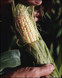 Maize/corn, Monsanto