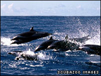 Pan-spotted tropical dolphins