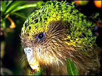 Kakapo, Copyright Rob Suisted - Naturespic.com