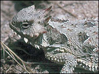 Coast Horned Lizard    US Fish & Wildlife Service