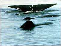Sperm whales   Noaa