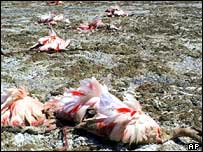 Flamingos lie dead on the dried Lake Manyara