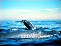 Ballena azul