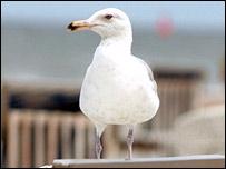 Seagull (generic)