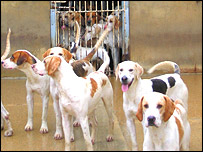 Hounds in kennel, BBC