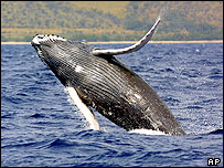 Humpback whale leaps out of the water, AP