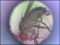 Fruit fly, BBC