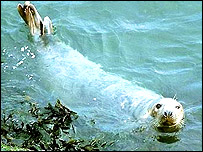 Grey seal, copyright Peter Dyrynda