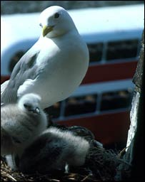 A black-legged kittiwake (Rissa tridactyla), Science