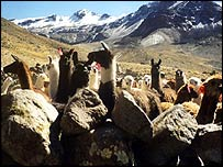 An alpaca farm in the Andes, Peru