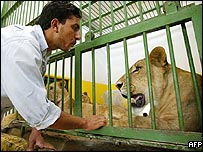 Lion caretaker Jaffar Thahab welcomes Uday Hussein's lions to Baghdad zoo