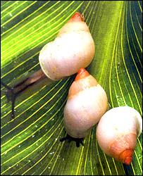 Partula snails, Natural History Museum