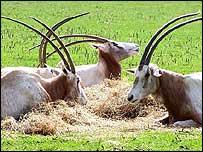 Scimitar Horned Oryx (Oryx dammah), NHM