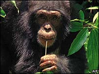 West African chimpanzee