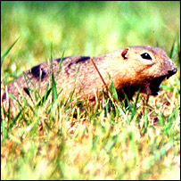Richardson's ground squirrel, University of Manitoba