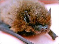 Pipistrelle bat, PA