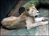 Charles Taylor's pet lioness Ma Juah