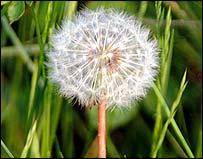 Dandelion (Photo Freefoto)