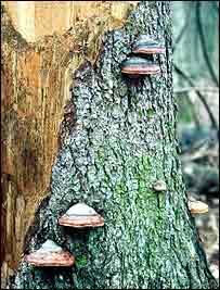 Fungi on tree   WWF-Canon/Hartmut Jungius