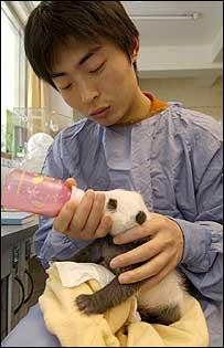 Man feeding a baby panda