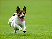 Brock, the Jack Russell terrier, on the pitch at Croke Park, Dublin