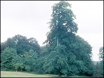 English elm tree