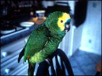 A domesticated parrot