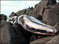 Sennen whale