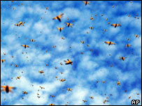 A sky swarming with desert locusts in Senegal