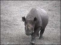 A black rhino