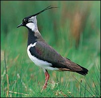 Northern lapwing (Andy Hay/RSPB Images)