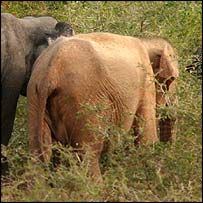 Sue, the albino elephant