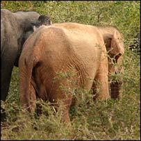 Sue, the albino elephant