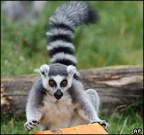Ring-tailed lemur (Lemur catta) (AP)