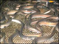 Total annual output of eels from the lough is about 700 tonnes