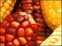 Corn, TVE