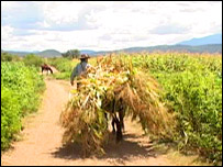 Mexican farmer in maize field,  TVE