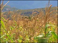 Corn field, TVE
