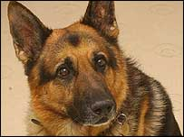 German Shepherd dog (generic)