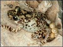 Mallorcan midwife toad (Alytes muletensis) (Durrell Wildlife)