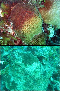 Great star coral/Montastraea cavernosa (Lisa Carne)