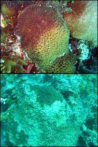 Great star coral/Montastraea cavernosa (Lisa Carne)