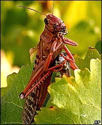 A red locust