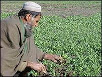 Campesino afgano en un campo de amapolas.