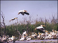 Delta pelicans