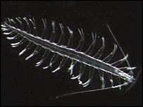 Zooplankton of the genus Tomopteris (Image: R.Hopcroft)