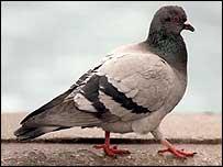 Pigeon, PA
