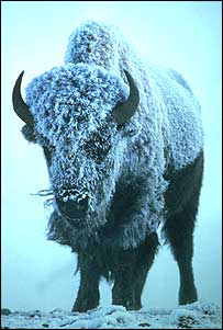 North American bison, Steve Maslowski/US Fish and Wildlife Service
