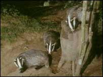There have been calls for a cull of badgers